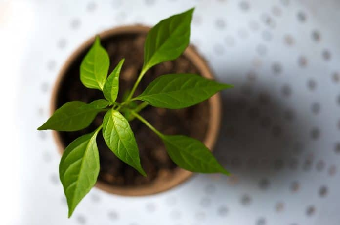 Les meilleures plantes aromatiques à avoir à la maison