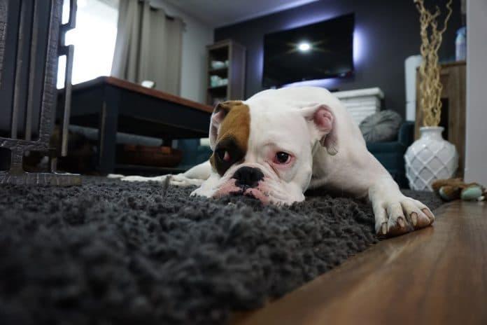 Nos astuces pour nettoyer la maison quand on a des animaux